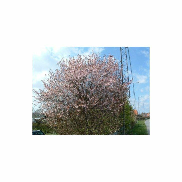 Blodblomme - Prunus cerasifera 'Nigra'