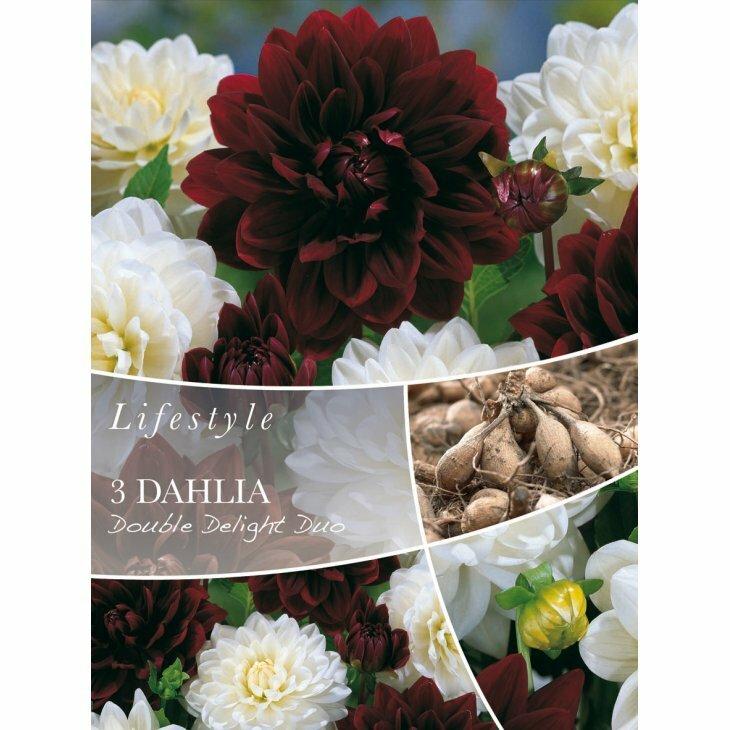 DAHLIA DOUBLE DELIGHT DUO (Blomsterløg)