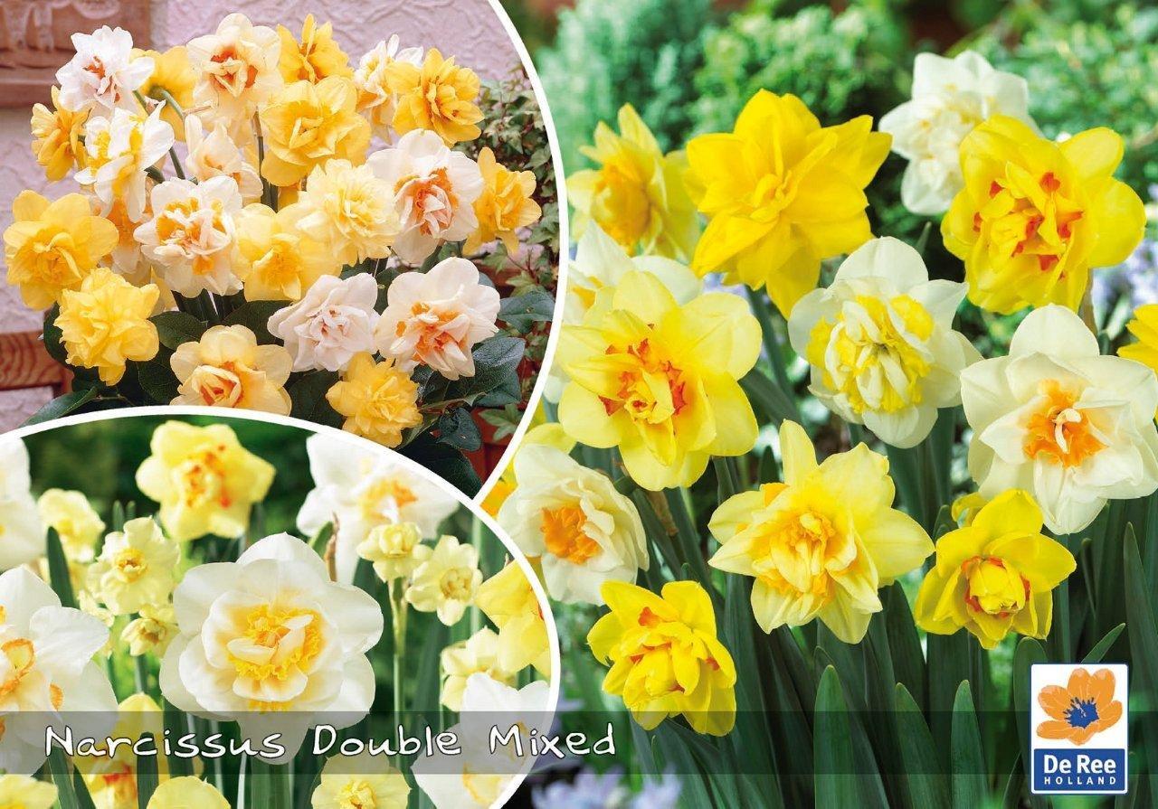 Narcissus Double Mixed - Påskeliljer dobbelte 40 løg
