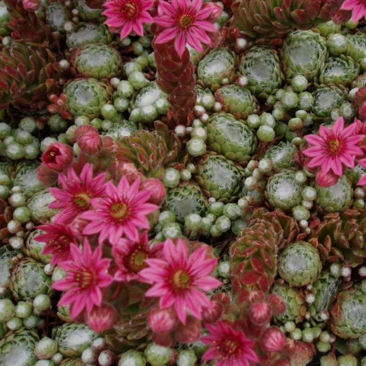 Husløg i blandede farver - Sempervivum i 1 l potte
