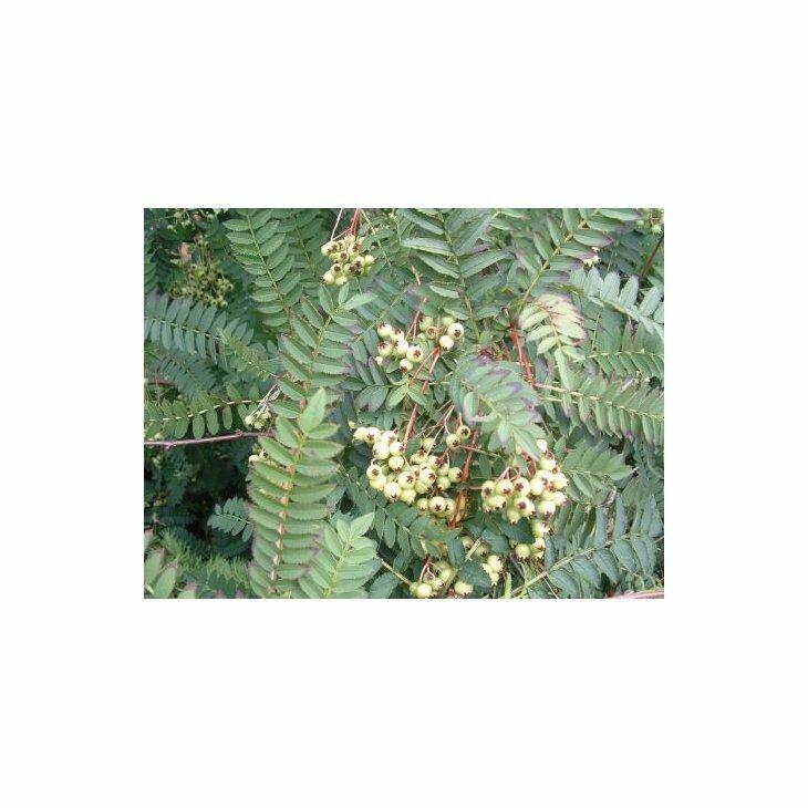 Perlerøn - Sorbus koehneana  på stamme