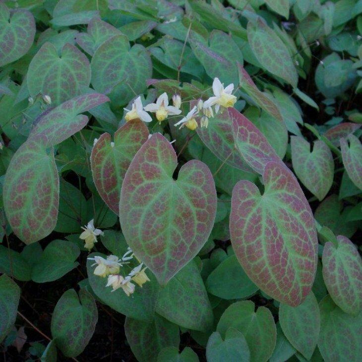 Bispehue - Epimedium versicolor 'Sulphureum'