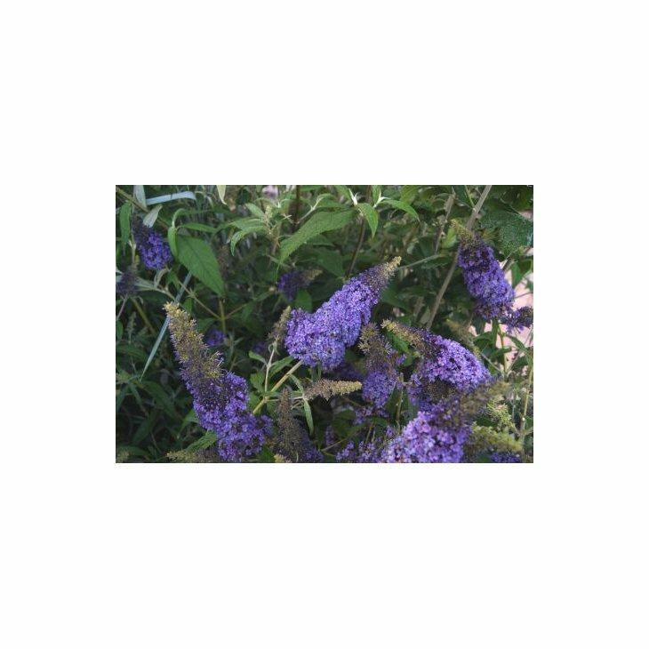 Sommerfuglebusk - Buddleja 'Buzz Sky Blue' i 5 L potte