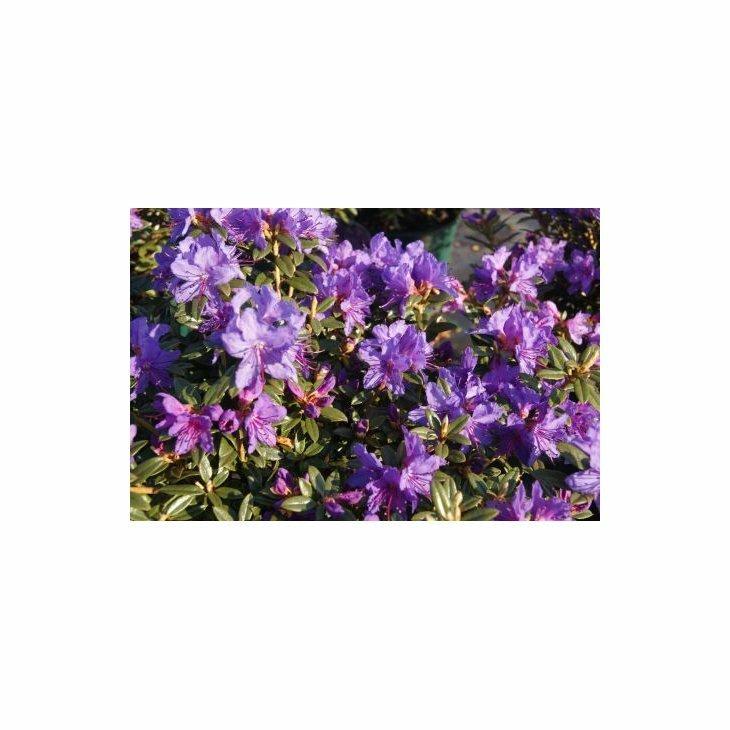 Rhododendron imp. 'Saint Merryn' i 2 l potte