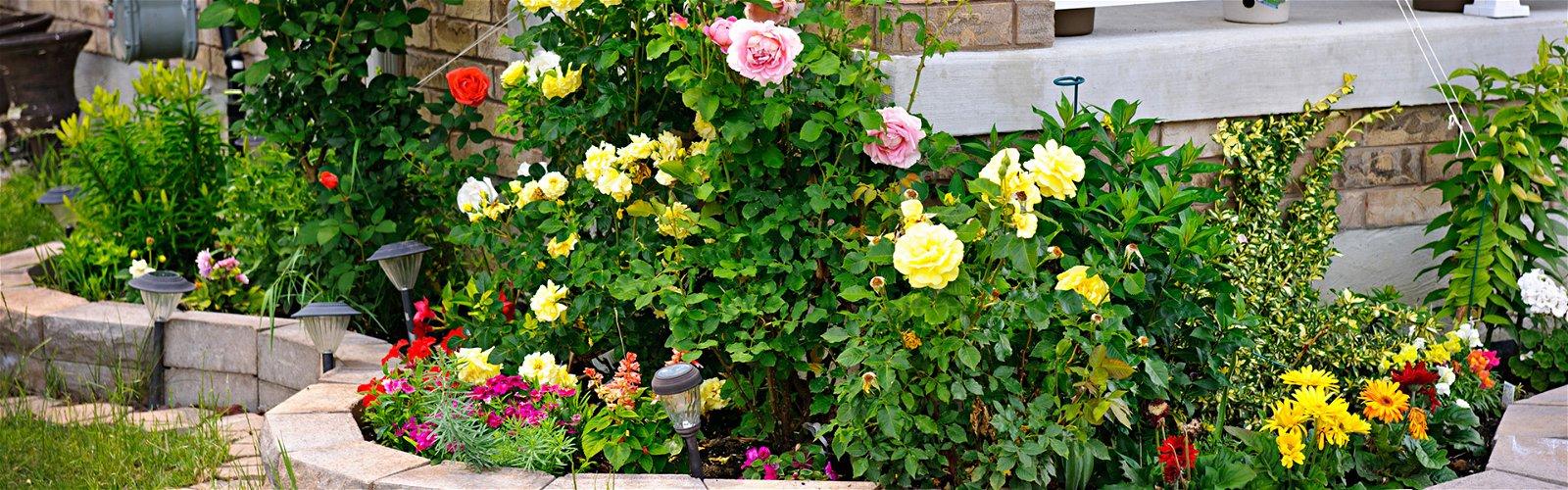 Havebed med roser