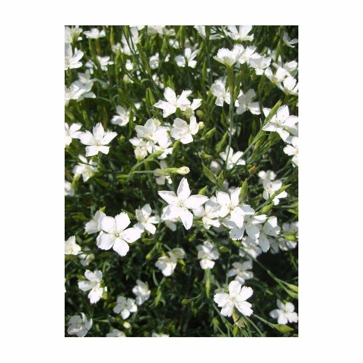 Bakkenellike - Dianthus deltoides 'Albus' i 1 l potte