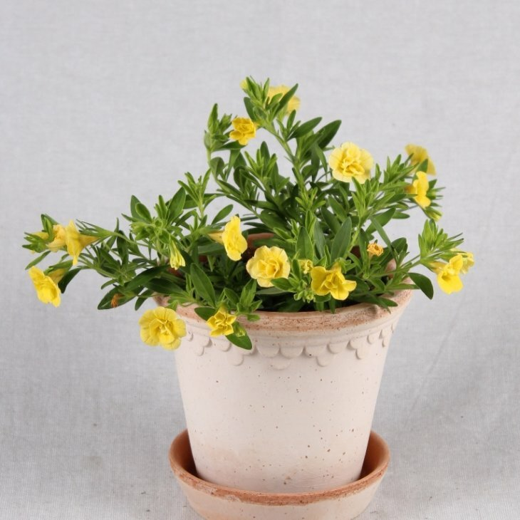 Petunia Million Bells- Calibrachoa - i gul