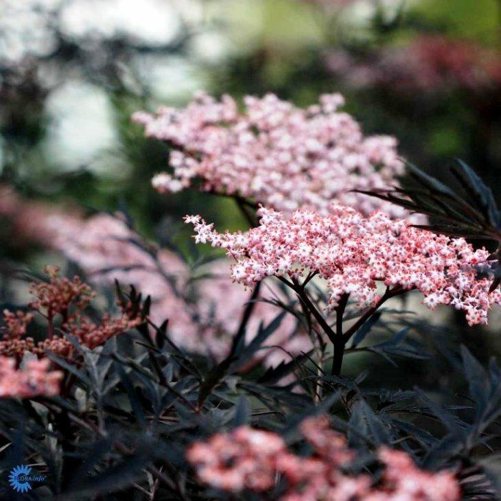 Hyldbærtræ rødbladet - Sambucus nigra 'Black Lace' i 5 l potte