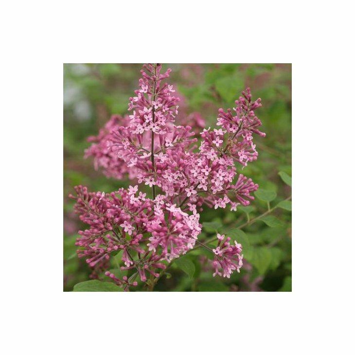 Dværgsyren - Syringa Bloomerang 'Pink Parfume' i 5 l potte
