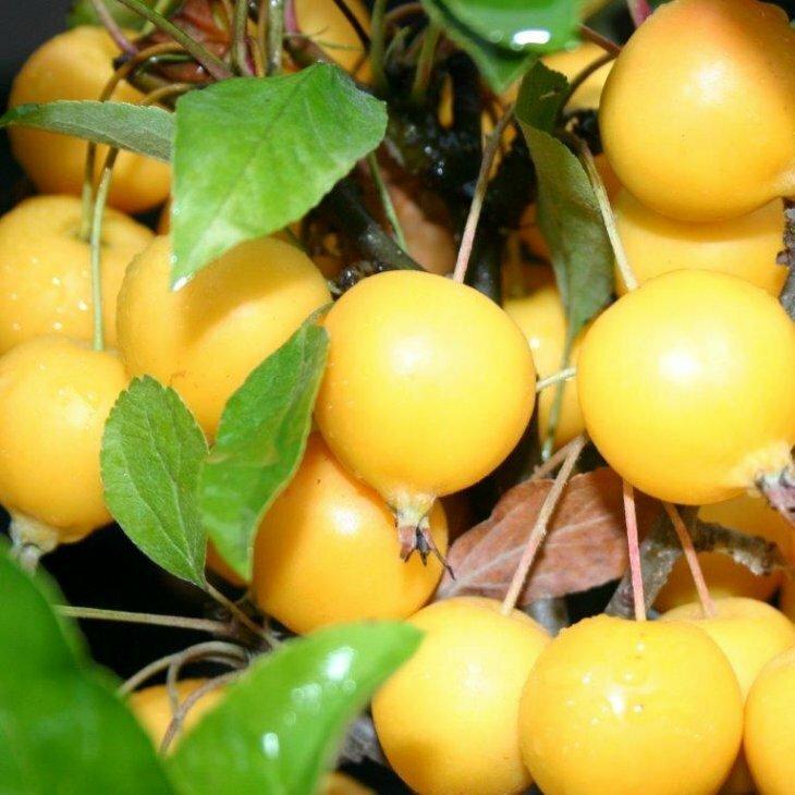 Paradisæble - Malus 'Golden Hornet'