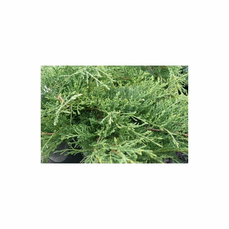 Enebær - Juniperus chinensis 'Old Gold' 30-40 cm