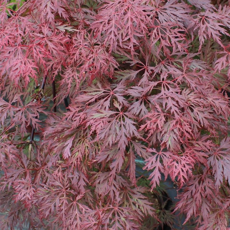 Japansk løn - Acer palmatum 'Orangeola'