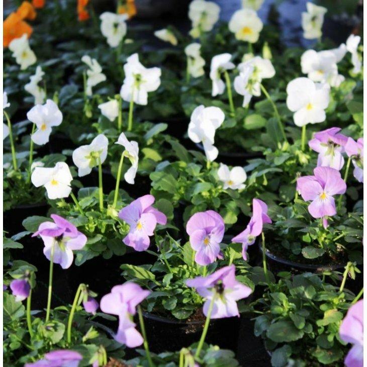 Hornviol - Viola cornuta i blandede Farver