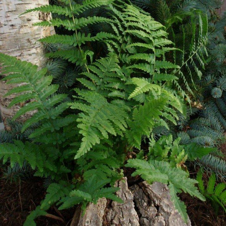 Almindelig mangeløv - Dryopteris filix-mas i 1 l potte