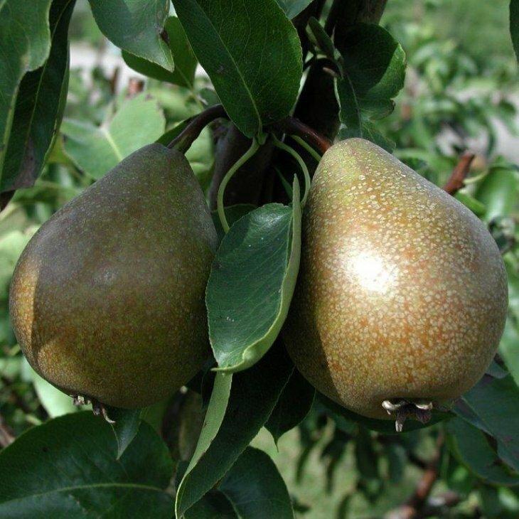 Pæretræ Gråpære