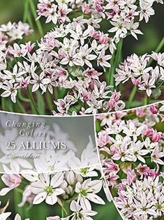 Changing Colors Alliums Cameleon - Prydløg 25 løg
