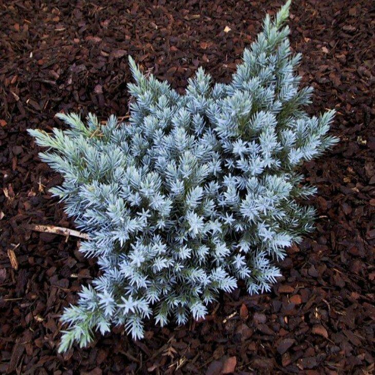 Enebær - Juniperus squamata 'Blue Star' 15-20 cm