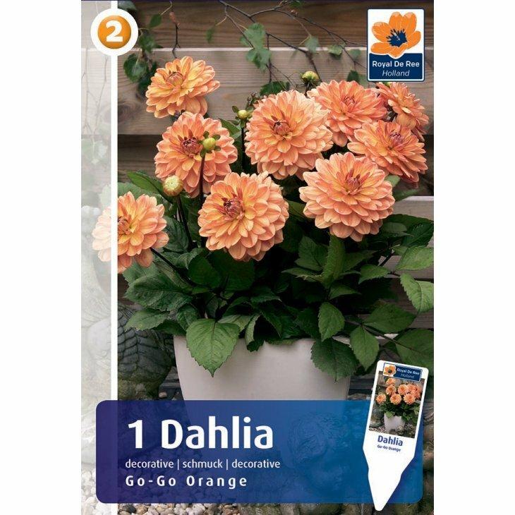 DAHLIA GO GO ORANGE (Blomsterløg)