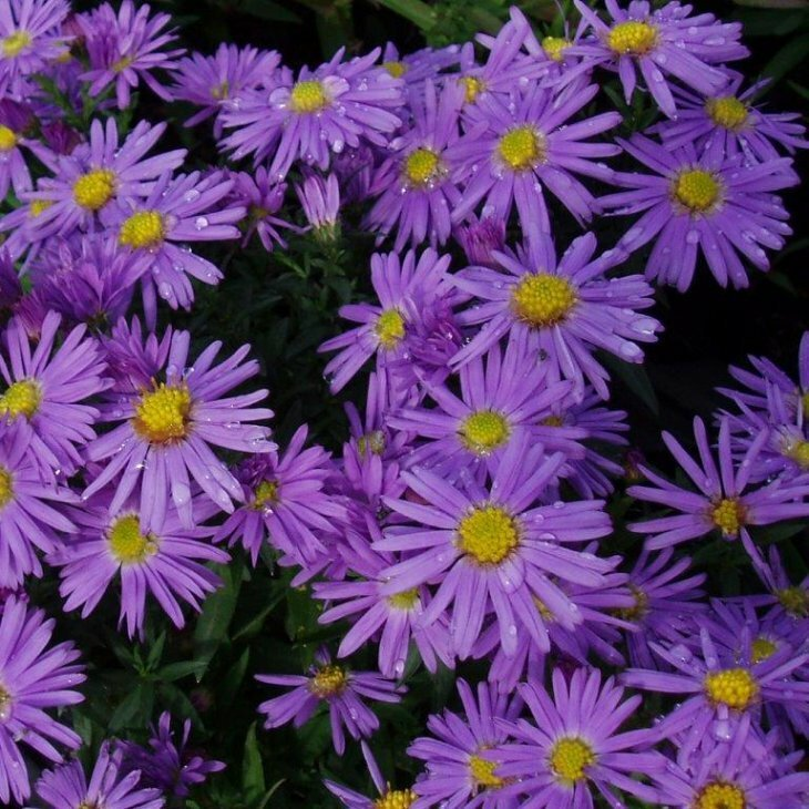 Asters - Aster dumosus 'Early blue' i 1 l potte