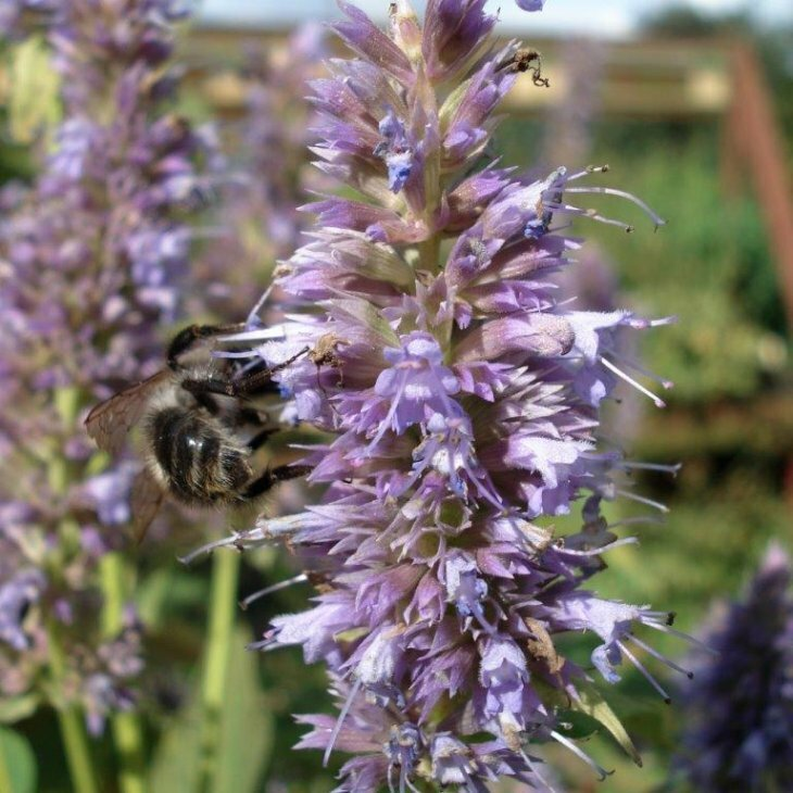 Anisisop - Indianermynte - Agastache foeniculum 'Blue Fortune' i 1 l potte