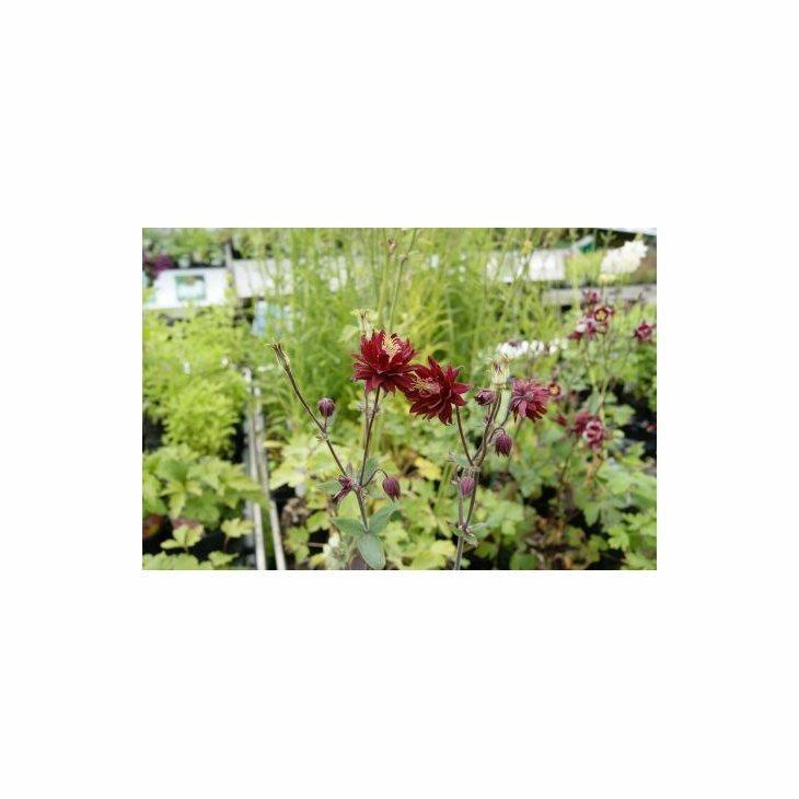 Akeleje - Aquilegia vulgaris 'Ruby Port' i 1 l potte