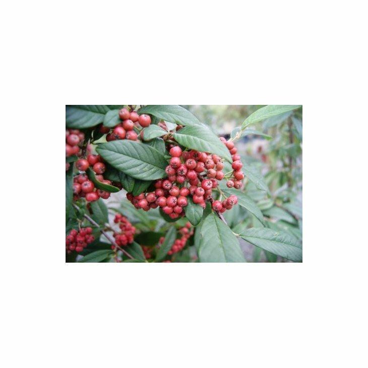 Dværgmispel - Cotoneaster watereri 'Brændkjær' i 5 l potte