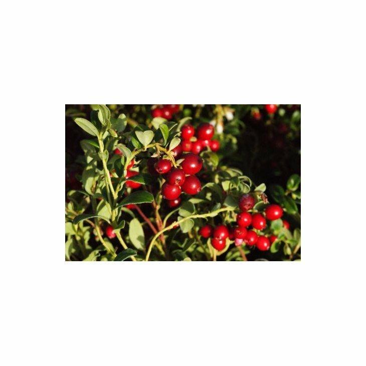 Tyttebærplanter - Vaccinium vitis-idaea 'Koralle' i 2 l potte