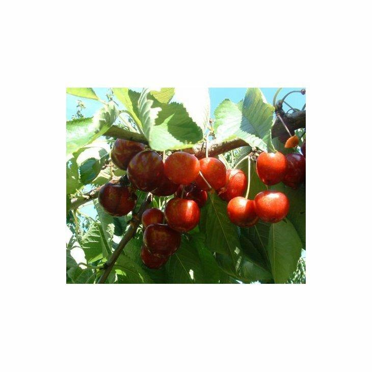 Sødkirsebærtræ Sunburst