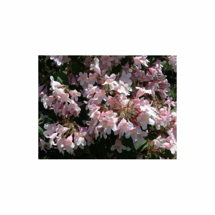 Dronningebusk - Kolkwitzia amabilis i 5 l potte