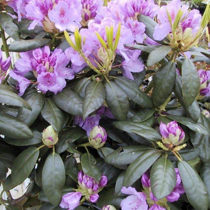 Rhododendron cat. Grandiflorum'