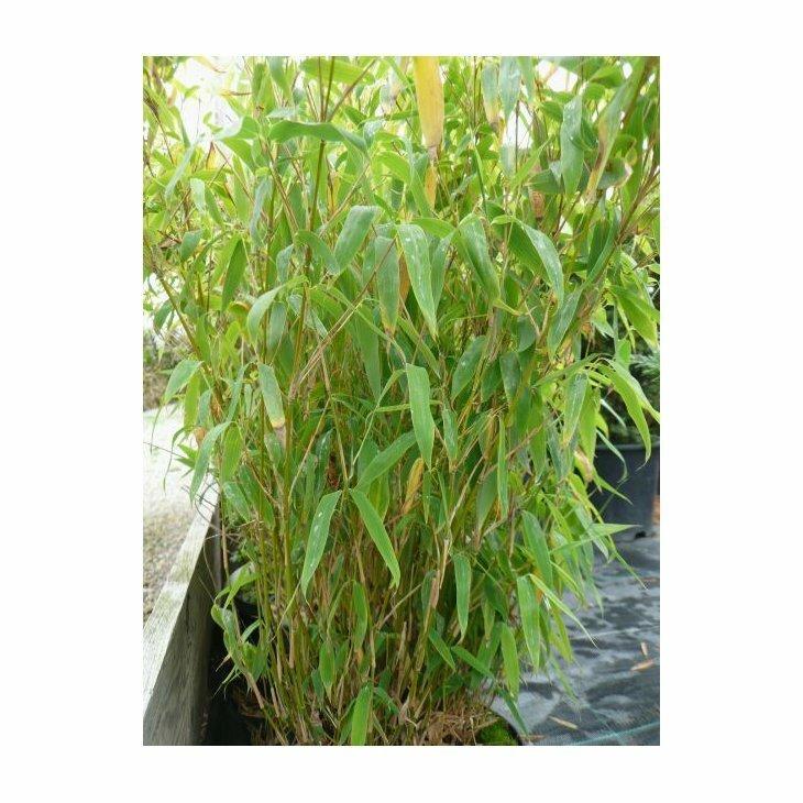 Bambus lav - Fargesia murielae 'Bambi'