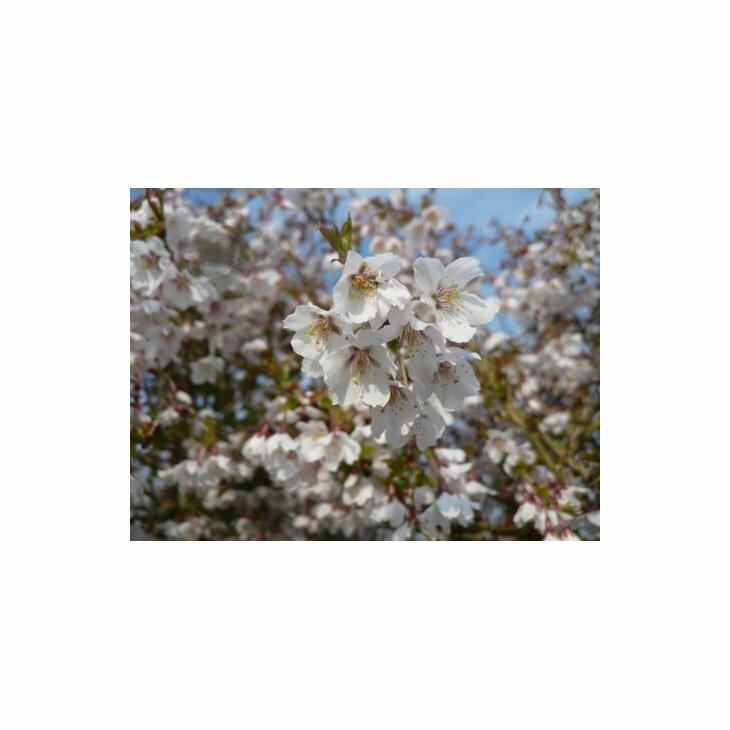 Fujikirsebær - Prunus incisa 'Kojou-No-Mai'' i 5 l potte
