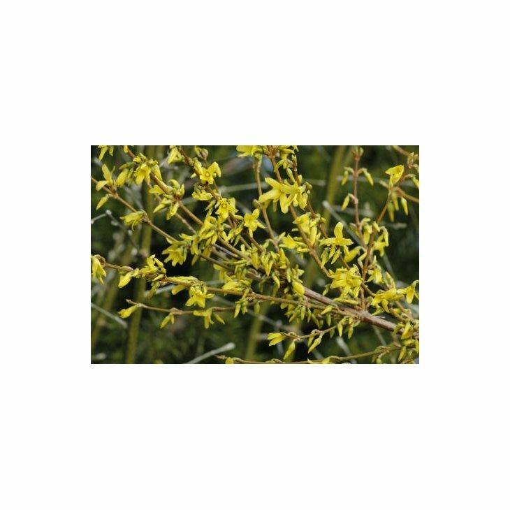 Forsythia - Forsythia x intermedia 'Lynwood' i 5 l potte