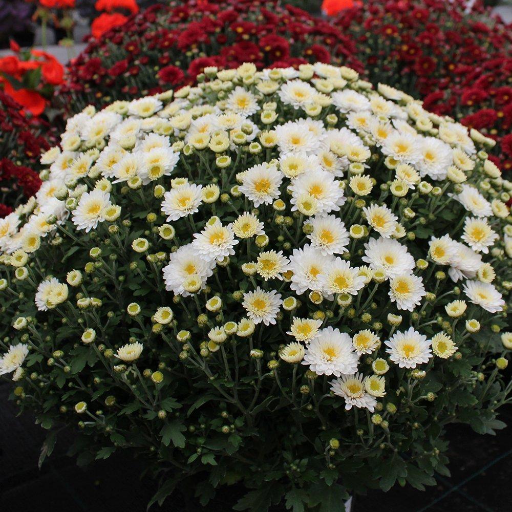 Efterårs Krysanthemum hvid ca. 40 cm i dia.