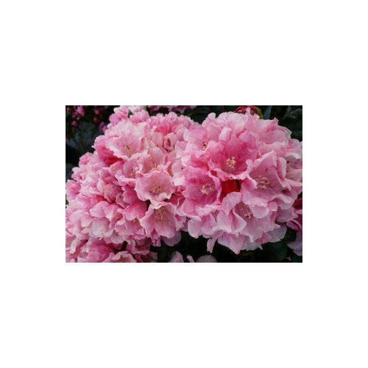 Rhododendron yak. 'Colibri' i 5 l potte