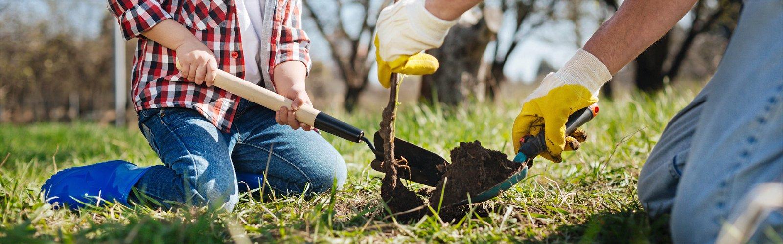 Plantning af frugttræ