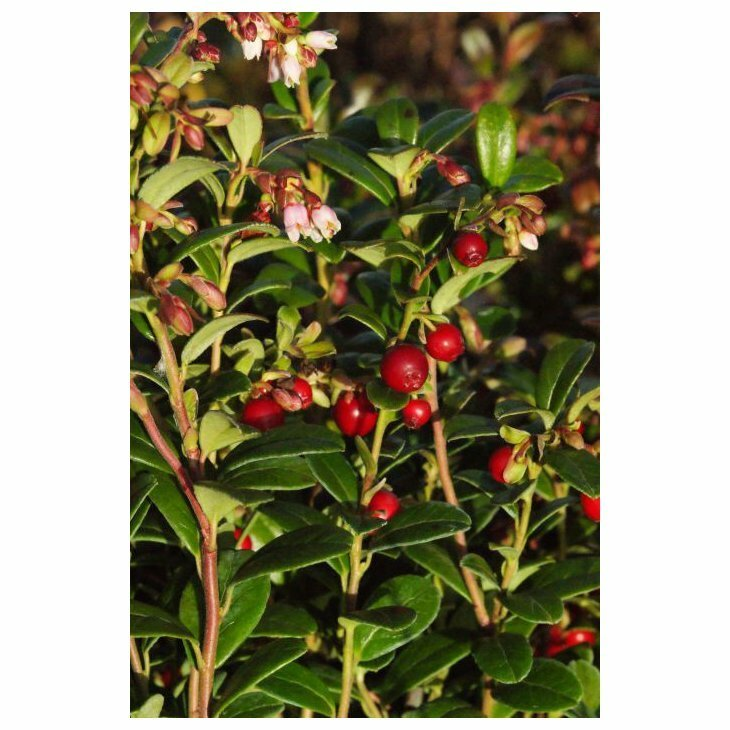 Tyttebærplanter - Vaccinium vitis-idaea 'Red Pearl' i 10 cm potte