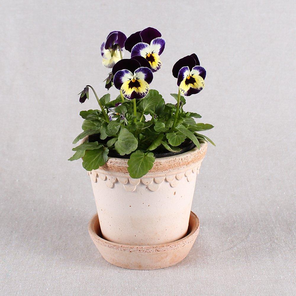 Hornviol - Viola cornuta nr. 1