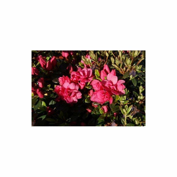 Rhododendron 'Rokoko' i 2 l potte