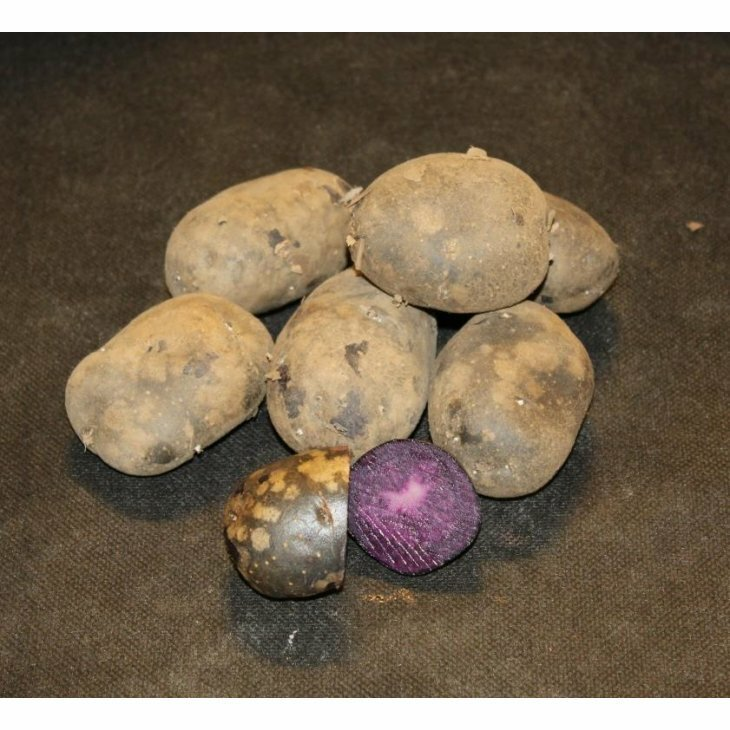 Middeltidlig Læggekartoffel Purple Rain