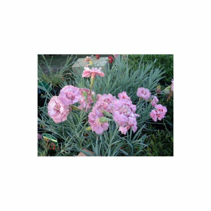 Fjernellike - Dianthus plumarius 'Maggie' i 1 l potte