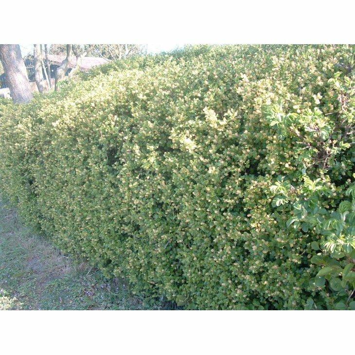 Fjeldribs - Ribes alpinum 50-80 cm
