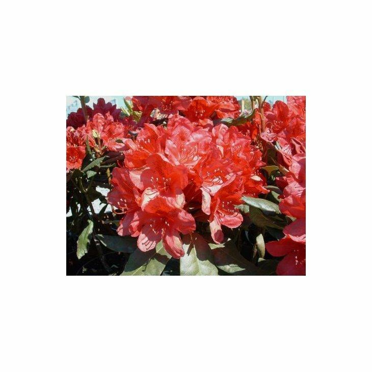 Rhododendron cat. 'Hachmanns Feuerschein'