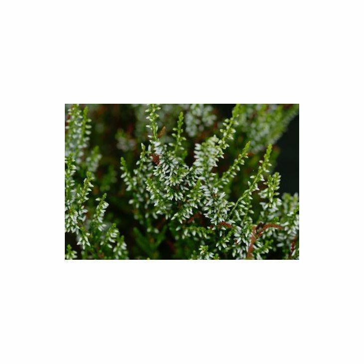 Efterårslyng - Calluna vulgaris 'Sandy'