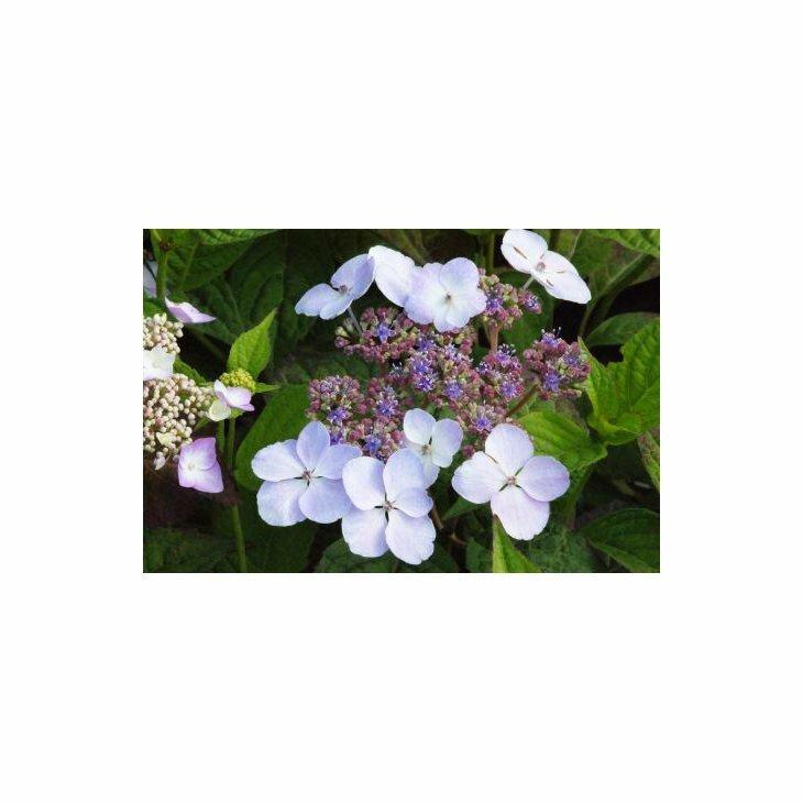 Havehortensia - Hydrangea macr. Endless Summer 'Twist n Shout' i 5 l potte