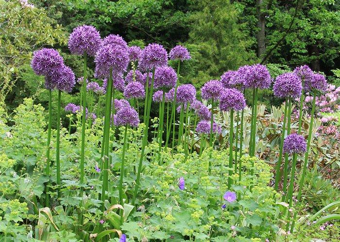 Allium løgplante