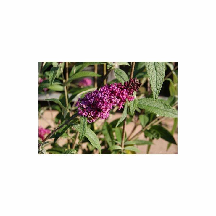 Sommerfuglebusk - Buddleja 'Mrs. Ruby' i 5 L potte