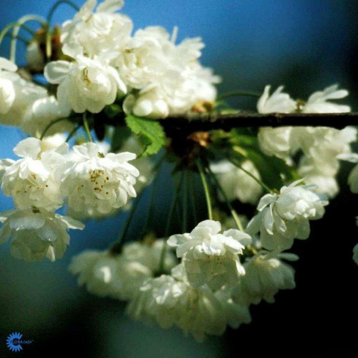 Fuglekirsebær - Prunus avium 'Plena'