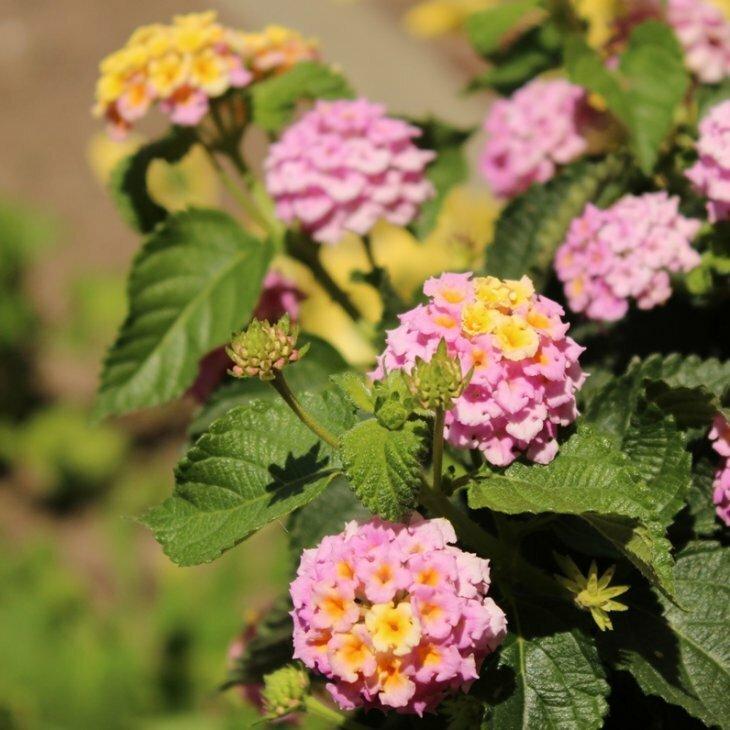 Ildkrone - Lantana camara hybrid i rosa