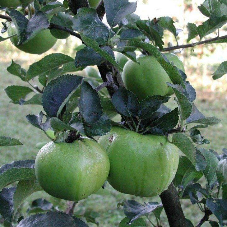 Æbletræ Bramley